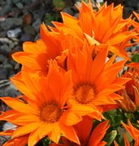durrusflowersmall